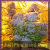Barneys Farm Auto Blue Mammoth Special Offer seeds Buy
